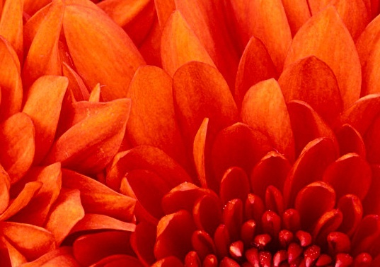 chrysanthemum_537